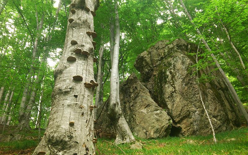 Вековните букови гори на Централен Балкан